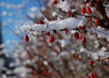 De bessen van de winter Royalty-vrije Stock Foto's
