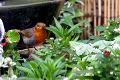 Rode die de borstvogel van Robin met voedsel in bek in bloemen wordt neergestreken Stock Foto's