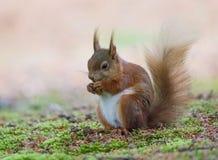 Rode die eekhoorn, op brownseaeiland wordt genomen, nationaal vertrouwen stock afbeeldingen
