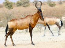 Rode die Hartebeest in het Grensoverschrijdende Nationale Park van Kgalagadi tussen Zuid-Afrika, Namibië, en Botswana wordt gefot stock afbeeldingen