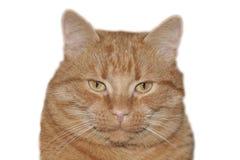Rode die kat op witte achtergrond, het knippen weg wordt geïsoleerd Stock Foto's