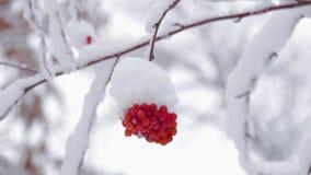 Rode die lijsterbessenbessen door sneeuw bij de winter koude dag worden behandeld De winterlandschap met snow-covered lijsterbes stock videobeelden