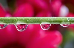 Rode die Madeliefjes in Waterdruppeltjes worden gebreken op Bloemstam stock fotografie