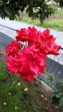 Rode die tuinrozen in ochtenddauw worden behandeld stock afbeeldingen
