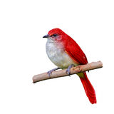 Rode die vogel op tak wordt geïsoleerd stock afbeelding