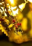 Rode die vruchten met de gloed van zonsondergang worden gespoeld stock foto