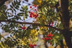 Rode die vruchten met de gloed van zonsondergang worden gespoeld stock afbeelding