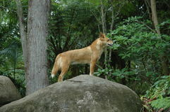 Rode Dingo stock foto
