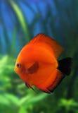 Rode discusvissen in aquarium stock afbeelding