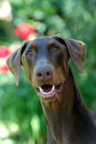 Rode Doberman Pinscher in openlucht. Stock Foto