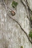 Rode doen zwellen specht die uit het nest te voorschijn komt Royalty-vrije Stock Afbeeldingen
