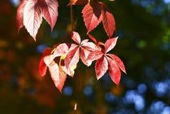 Rode drie bladeren stock fotografie