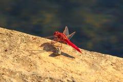 Rode Dropwing-Libel stock afbeeldingen