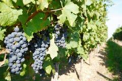 Rode druif op de wijnstok Royalty-vrije Stock Foto's