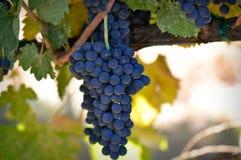 Rode Druiven royalty-vrije stock foto