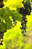 Rode druiven Stock Foto's