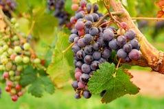 Rode druiven Stock Fotografie