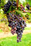 Rode druiven Royalty-vrije Stock Afbeelding