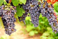 Rode druiven Royalty-vrije Stock Fotografie