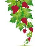 Rode druiven stock illustratie