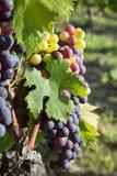 Rode Druiven Royalty-vrije Stock Afbeeldingen