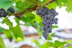 Rode druiven in de wijngaard Stock Afbeeldingen
