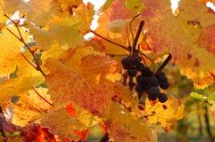 Rode druiven in een wijngaard met gouden bladeren Royalty-vrije Stock Afbeeldingen