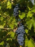 Rode druiven en groen bladerenclose-up Royalty-vrije Stock Afbeeldingen