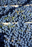 Rode druiven in het krat Royalty-vrije Stock Foto's