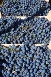 Rode druiven in het krat Royalty-vrije Stock Afbeeldingen