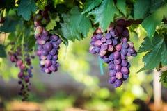 Rode druiven met bladeren bij wijngaard in een gevestigde wijnmakerij Stock Afbeelding