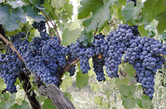 Rode druiven op de wijnstok Stock Fotografie
