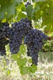 Rode druiven op de wijnstok Stock Foto