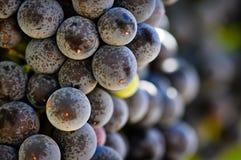 Rode Druiven op de Wijnstok in Vallei Napa Stock Foto