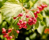 Rode druiven op een tak met groen bladerenclose-up Royalty-vrije Stock Foto
