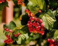 Rode druiven op een tak met groen bladerenclose-up Royalty-vrije Stock Foto's