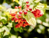 Rode druiven op een tak met groen bladerenclose-up Stock Fotografie