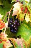 Rode druiven op een wijnstok stock afbeelding