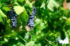 Rode druiven op wijnstok Stock Afbeeldingen