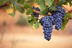 Rode druiven op wijnstok Stock Foto's