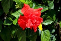 Rode dubbele hibiscusbloem Stock Fotografie