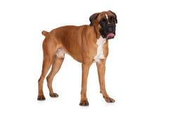 Rode Duitse bokserhond die zich op wit bevinden royalty-vrije stock fotografie