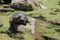Rode eared schuifschildpad Stock Foto