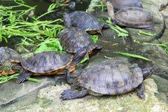 Rode eared schuifschildpadden royalty-vrije stock afbeeldingen