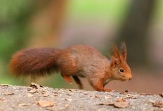 Rode Eekhoorn Stock Foto's