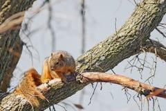 Rode eekhoorn royalty-vrije stock afbeeldingen