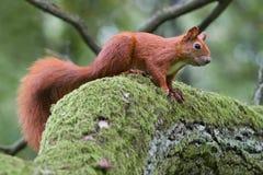 Rode eekhoorn Stock Afbeelding