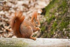Rode eekhoorn Stock Foto