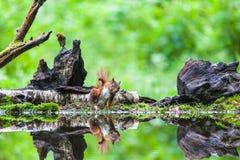 Rode Eekhoorn Royalty-vrije Stock Fotografie