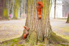 Rode Eekhoorn Royalty-vrije Stock Afbeelding